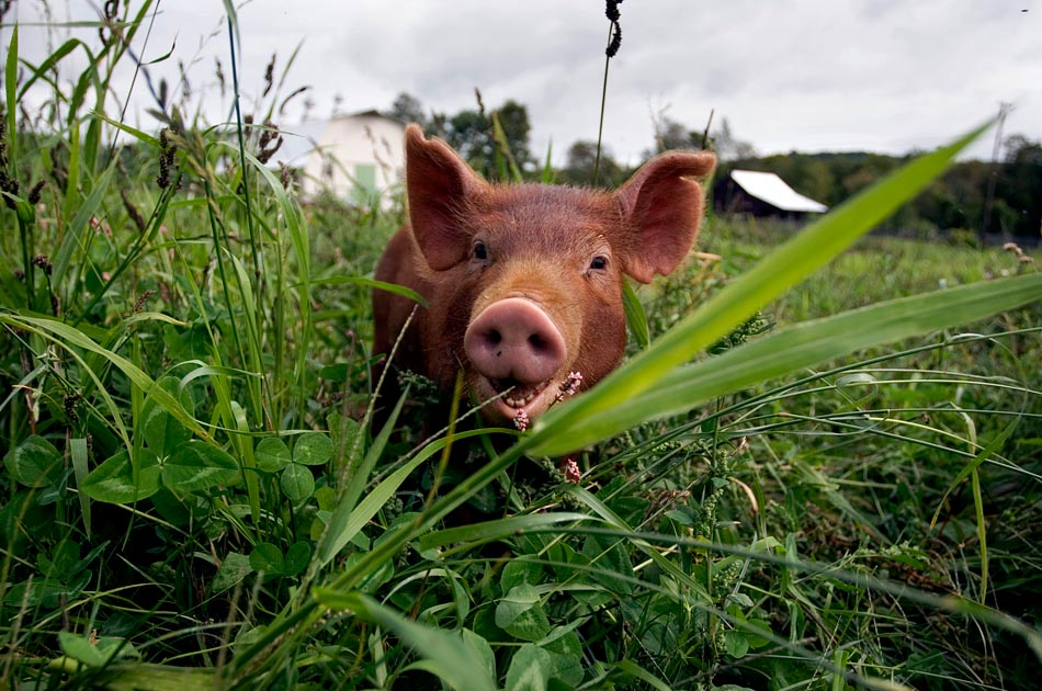 tamworth-piglet-hogwash-farm-norwich-vt-living-with-pigs