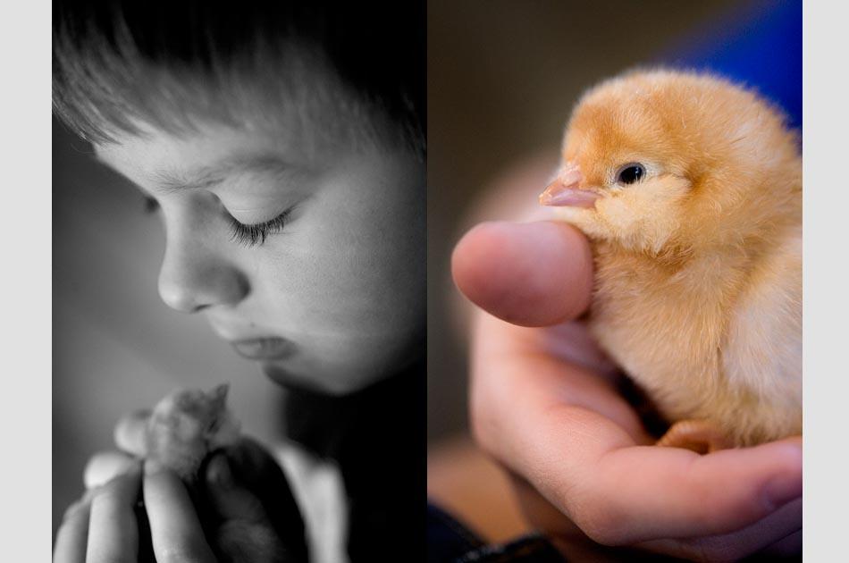 fat-rooster-farm-royalton--vt-joy-of-keeping-chickens