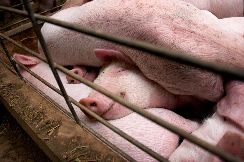 north-hollow-farm-rochester-vt-living-with-pigs