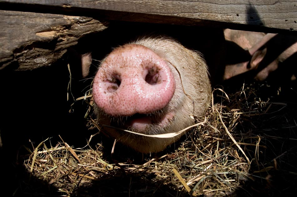 luna-bleu-farm-royalton-vt-living-with-pigs