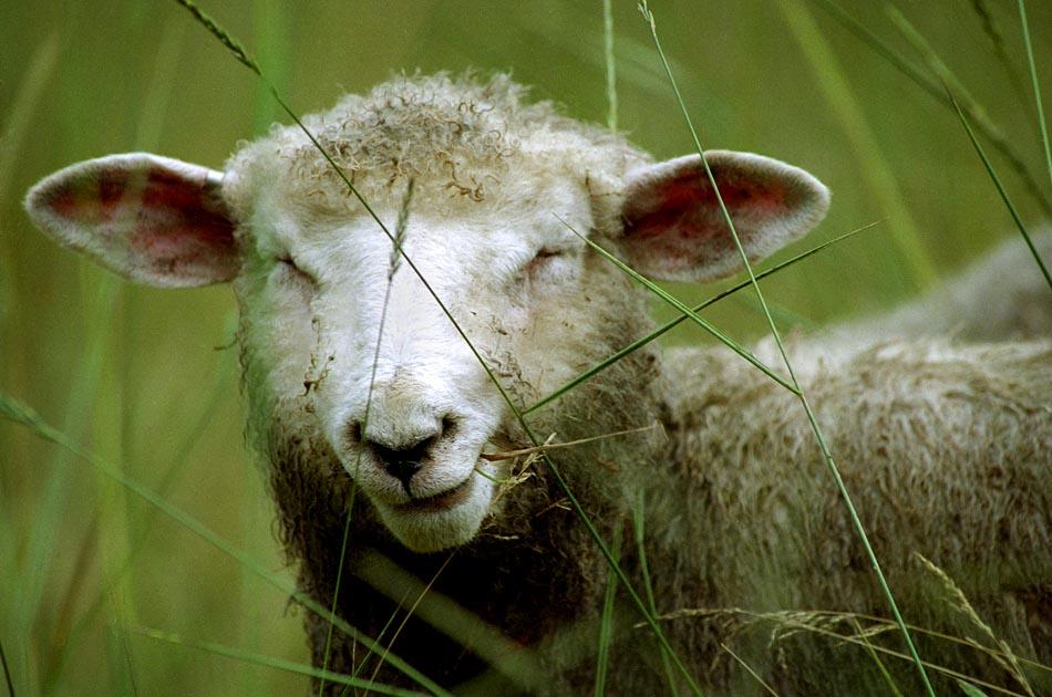 harlow-brook-farm-hartland-vt-living-with-sheep