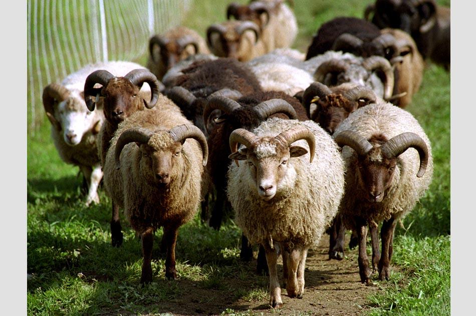 maple-ridge-sheep-farm-braintree-vt-living-with-sheep