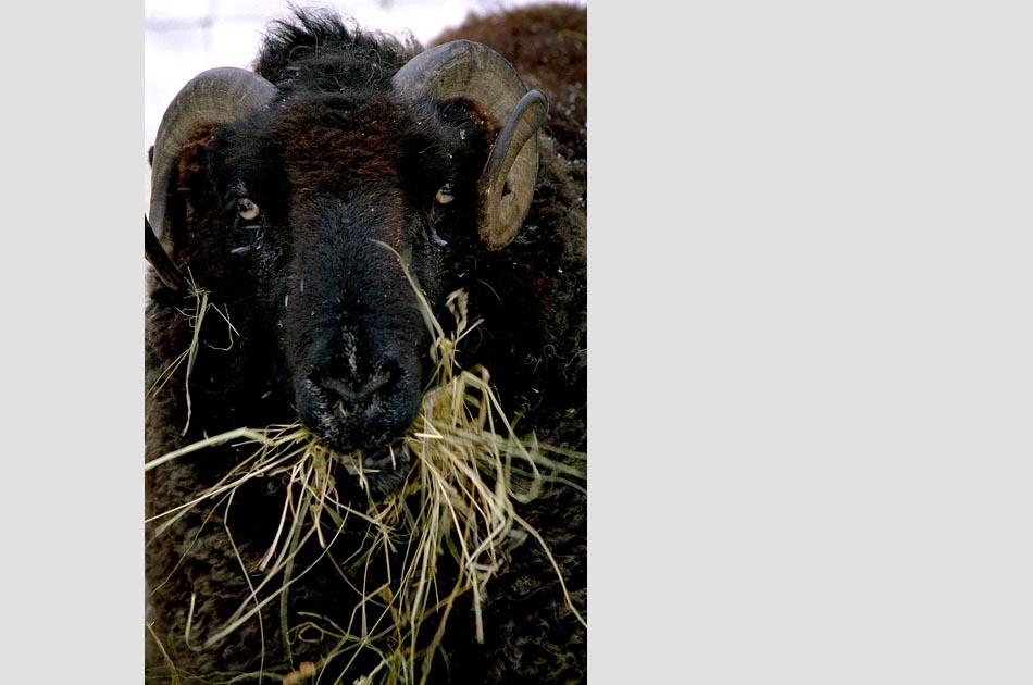 lenihan-farm-strafford-vt-living-with-sheep