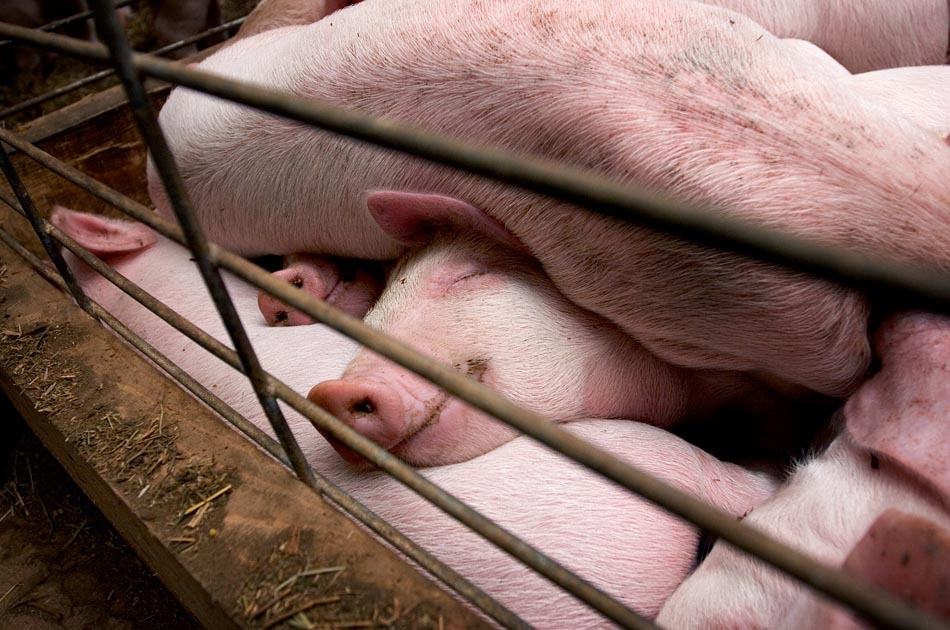 living-with-pigs-north-hollow-farm-rochester-vt