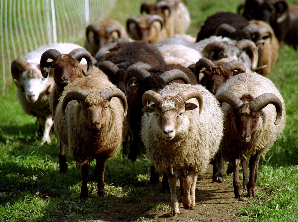 living-with-sheep-maple-ridge-sheep-farm-braintree-vt