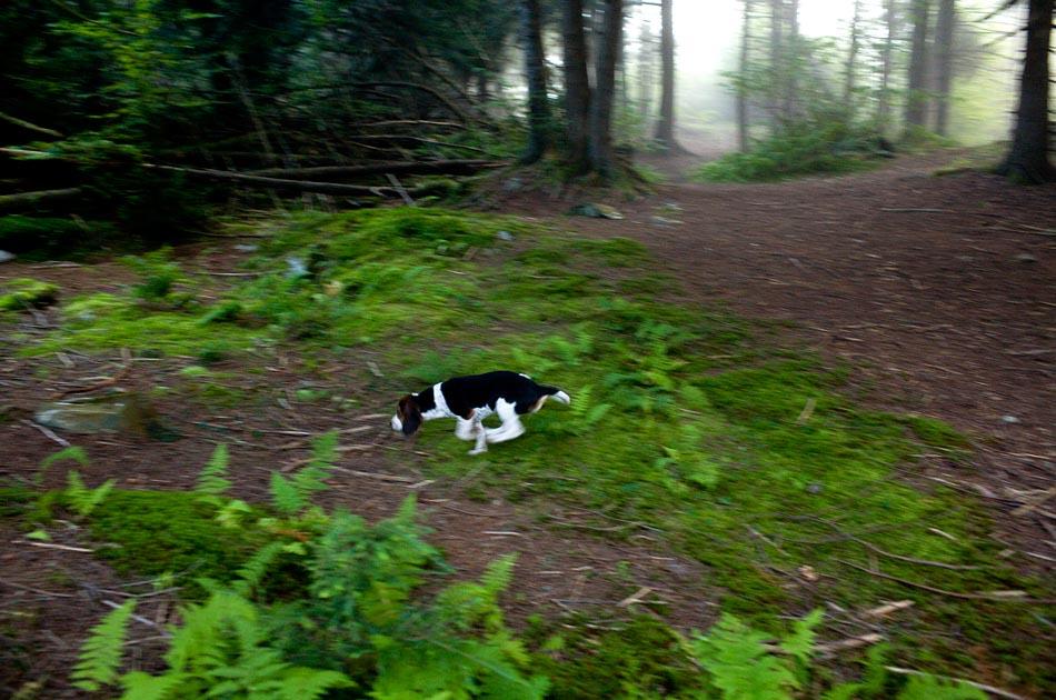 beagle-hunting-randolph-vt-001